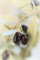 Close-up of ripe black olives on a soft background