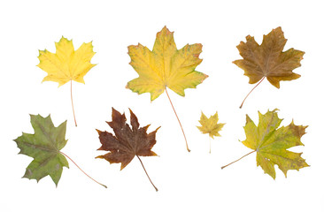 Collection set of colourful fallen canadian maple tree leaves isolated on white background. Autumn foliage.