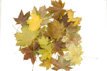 Bunch of fallen canadian maple tree leaves isolated on white background. Autumn foliage.
