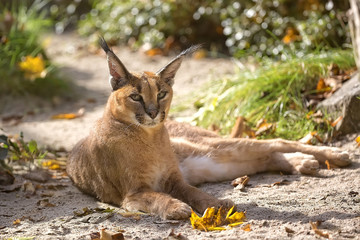 Caracal resting in a clearing