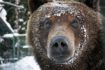 muzzle of a brown bear in snow. curious animal look. focus on eyes
