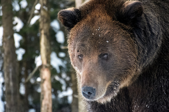 old brown bear staring somewhere. curious animal look. focus on eyes