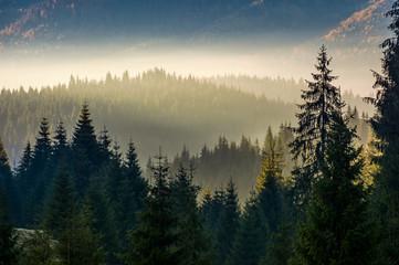 spruce forest on hillside layered in autumn fog. amazing nature background at sunrise