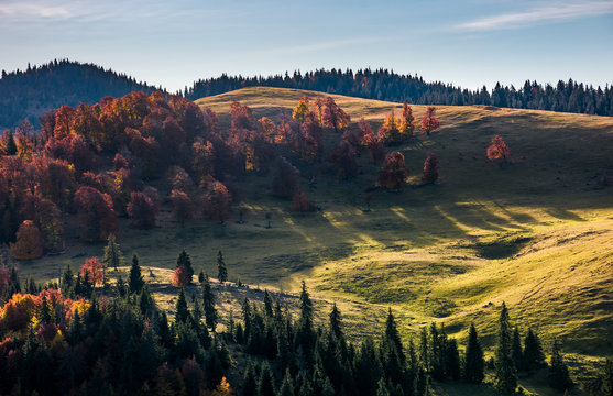 deciduous forest on grassy hillside above spruce trees in autumn sunrise. beautiful nature scenery in mountains