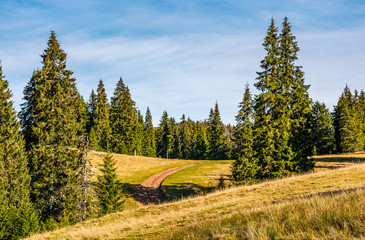 dirt road in spruce forest on grassy hillside at sunrise. lovely nature scenery in Carpathian Mountains