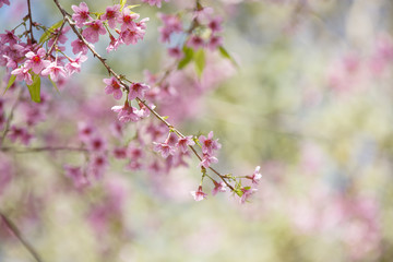 Prunus cerasoides, Natural background