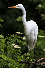 Great White Egret standing on a branch