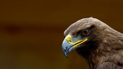 Eagle portrait with open space