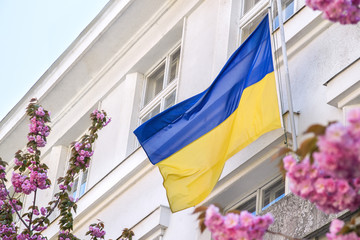 View on Ukrainian flag wawing and blooming Sakura Cherry blossom trees on the background