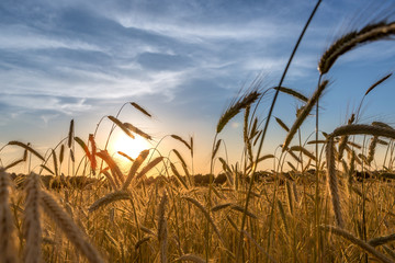 Getreidefeld beim Sonnenuntergang. Einzelne Getreidehalme von der Sonne angestrahlt