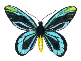 Queen Alexandra' s birdwing butterfly.