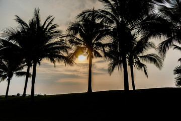 coconut palm tree with green grass in the park on sun down