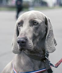 Close Portrait Of Beautiful Weimaraner Dog. The Weimaraner Is An All-purpose Gun Dog