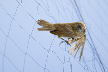 Image of bird (Sparrow) is attached to the net. Animals.