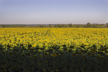 a man in a yellow T-shirt makes a photo of a field of sunflowers at sunrise