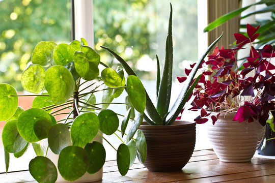 Various house plants on the window. House plant