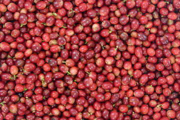 Red Coffee Beans Ripening in bamboo basket containing, picked red ripen arabica coffee berries cherries