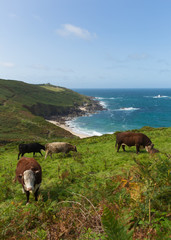 Fototapete - Cornish coast and countryside Portheras Cornwall between Pendeen and Morvah and South West of St Ives