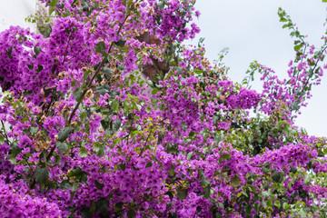 Flowering bouganville (bougainvillea, flowers, background)