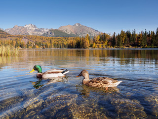 Pair of mallards swimming in the lake Strbske Pleso in the National Park of High Tatras, Slovakia