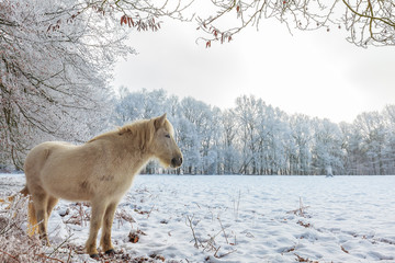 Winter scene with snow and white Konik horse at the Dutch Veluwezoom