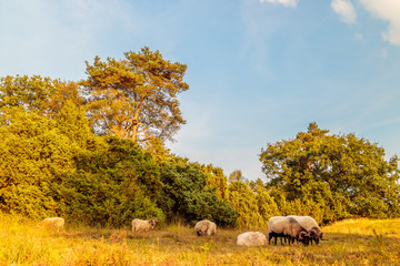 Herd of Drenthe heath sheeps in Dutch nature park Balloerveld