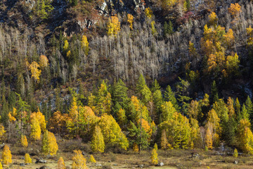 View of yellow forest in the Altai mountains, Russia.