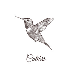 Hummingbird sketch hand drawing. colibri vector illustration of a bird