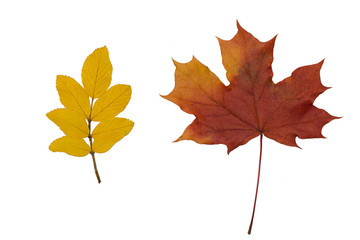 dry leaves of mountain ash and maple on white background