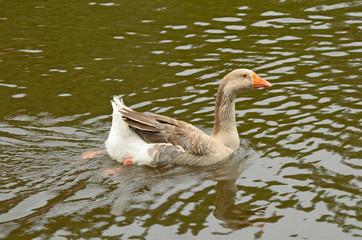 Goose swimming in the lake.