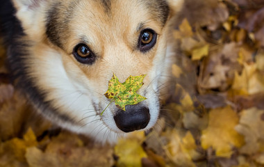 Autumn on the nose. Dog breed Welsh Corgi Pembroke on a walk in a beautiful autumn forest.
