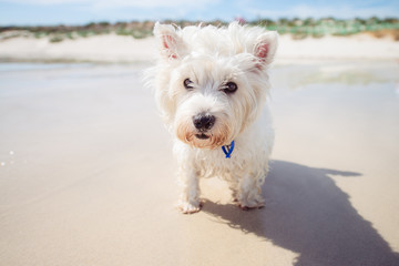 Small white dog at the beach