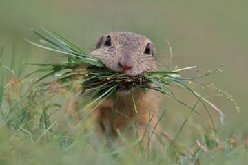 European ground squirrel with grass in his mouth. Squirrel sitting in the grass. Spermophilus citellus. Beautiful wildlife scene from nature.