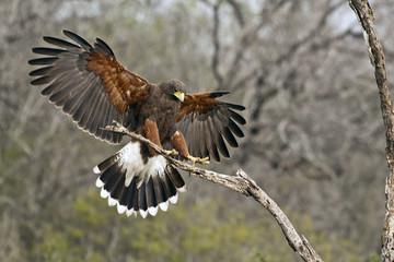 Harris's Hawk Landing
