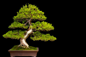 Photo sur Aluminium Bonsai Traditional japanese bonsai miniature tree in a ceramic pot isolated on a black background.
