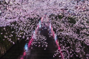Japanese cherry blossoms at night over Meguro River