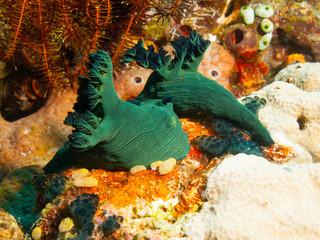 Philippines. Nembrotha milleri (Milleri's nembrotha) on bright coral, underwater macro