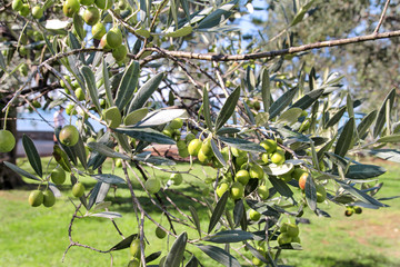 Green olives in a olive tree branch. Olive tree with green olives, close up. Concept of olives, tradition. Olive growing. Healthy food. Mediterranean.