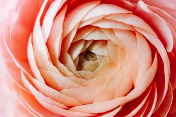 macro image of pink ranunculus flower