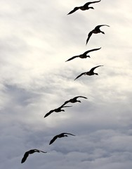 bird, geese, sky, flying, fall migration, white, black
