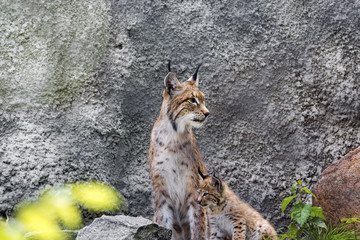 a female of the northern lynx with a brood, in the ruins of a meteorological station in Siberia