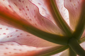 Underneath an Oriental lily
