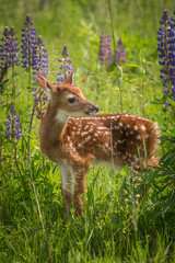 Fototapete - White-Tailed Deer Fawn (Odocoileus virginianus) Stands Still