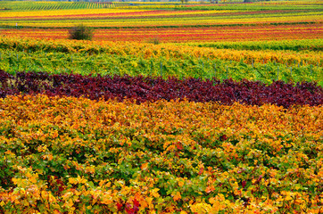 vineyard in the autumn
