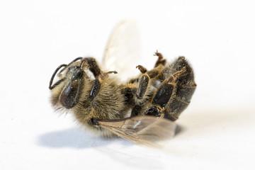 Dead honey bee on white background