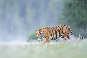 Staring siberian tiger