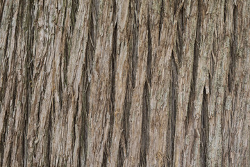 Close up texture of Cypress tree bark