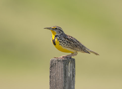 Western Meadowlark (Sturnella neglecta) perched on a weathered wooden post against a soft green background