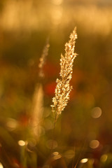 Autumn colors of dry grass and sunshine in the background.