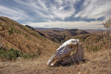 Skull of dead horse in the semi desert of Guanajuato, Mexico